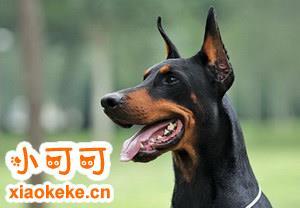 杜宾犬怎么养 杜宾犬饲养方法