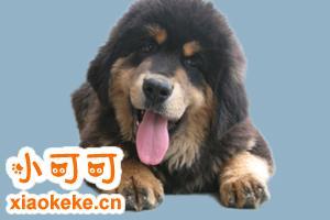 藏獒饲养方法