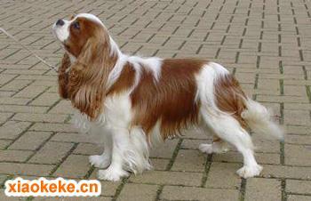 骑士查理王小猎犬图片