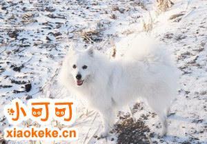 银狐犬怎么训练 银狐犬训练方法