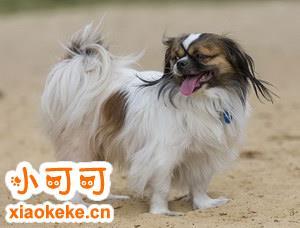 西藏猎犬怎么训练出门随行 西藏猎犬随行训练教程