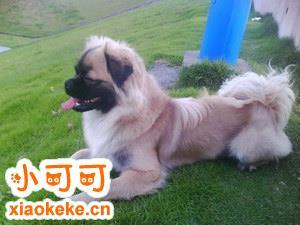 西藏猎犬怎么训练 西藏猎犬训练技巧分享
