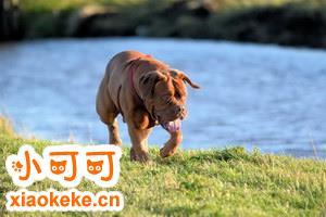 波尔多犬出门跟随怎么训练 波尔多犬出门跟随训练方法