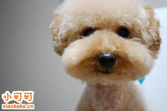 泰迪什么时候训练效果比较好 泰迪犬最佳训练时间介绍2