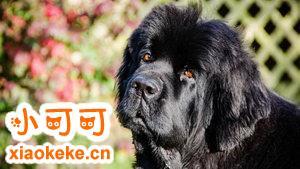纽芬兰犬乱叫怎么制止 纽芬兰犬禁止乱吠叫方法