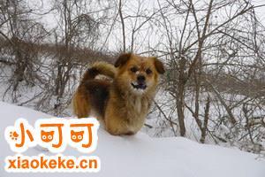 西藏猎犬乱吠叫怎么办 西藏猎犬乱叫纠正方法