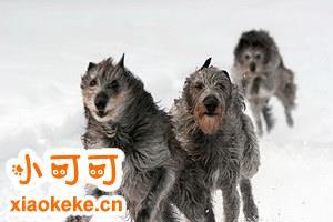 如何训练爱尔兰猎狼犬躺下 爱尔兰猎狼犬躺倒训练教程