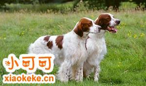 爱尔兰红白雪达犬排便怎么训练 排便训练方法