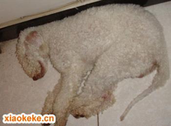 捕鼠梗犬图片