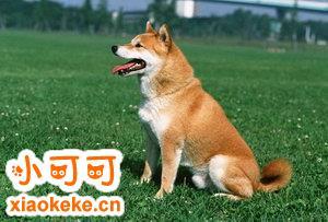 中华田园犬产前征兆有哪些 中华田园犬产前准备工作