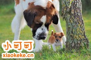 圣伯纳犬怀孕期间怎么照顾 圣伯纳犬妊娠期护理方法