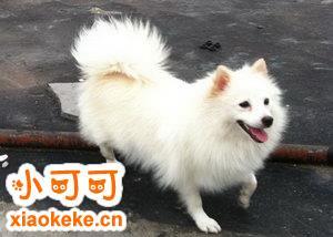 银狐犬怀孕几个月生 银狐犬怀孕到生产要多久