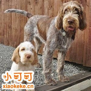 史毕诺犬产后怎么护理 史毕诺犬产后护理方法