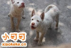 下司犬怀孕几个月生 下司犬怀孕后多久生产