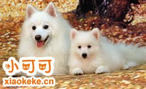银狐犬怀孕吃什么好 银狐犬怀孕饮食护理注意事项