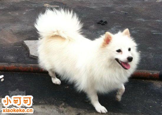 银狐犬怀孕几个月生 银狐犬怀孕到生产要多久1
