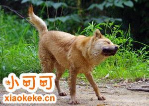 中华田园犬怀孕几个月生 中华田园犬怀孕多久生产