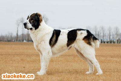 中亚牧羊犬图片